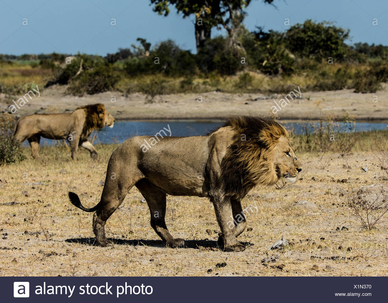 A pair of male lions, Panthera Leo, crossing a dry plain in Botswana's Okavango Delta. - Stock Image