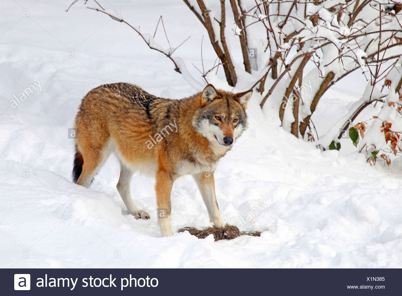 European gray wolf (Canis lupus lupus), in the snow, Germany - Stock Image