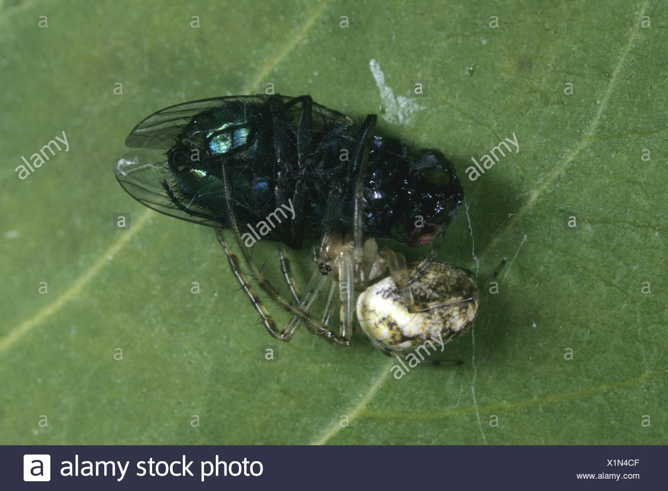 Autumn orbweaver (Meta segmentata, Metellina segmentata), male with caught fly, Germany - Stock Image