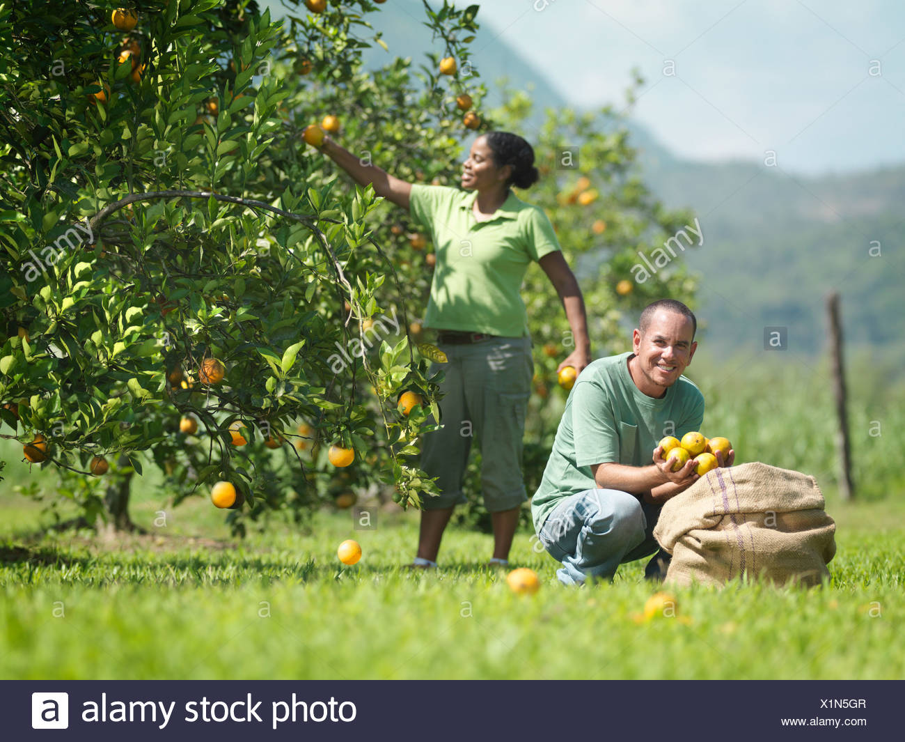 Workers Picking Oranges - Stock Image