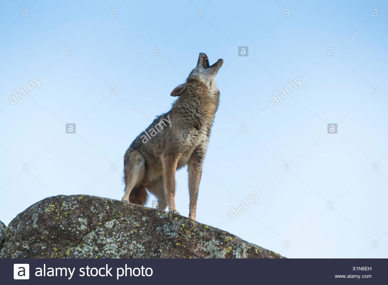 A coyote (Canis latrans) standing on a rock and howling, captive, California, USA - Stock Image