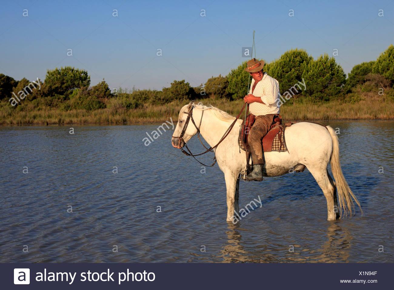 Man riding a Camargue Horse (Equus caballus) in water, Saintes-Marie-de-la-Mer, Camargue, France, Europe - Stock Image
