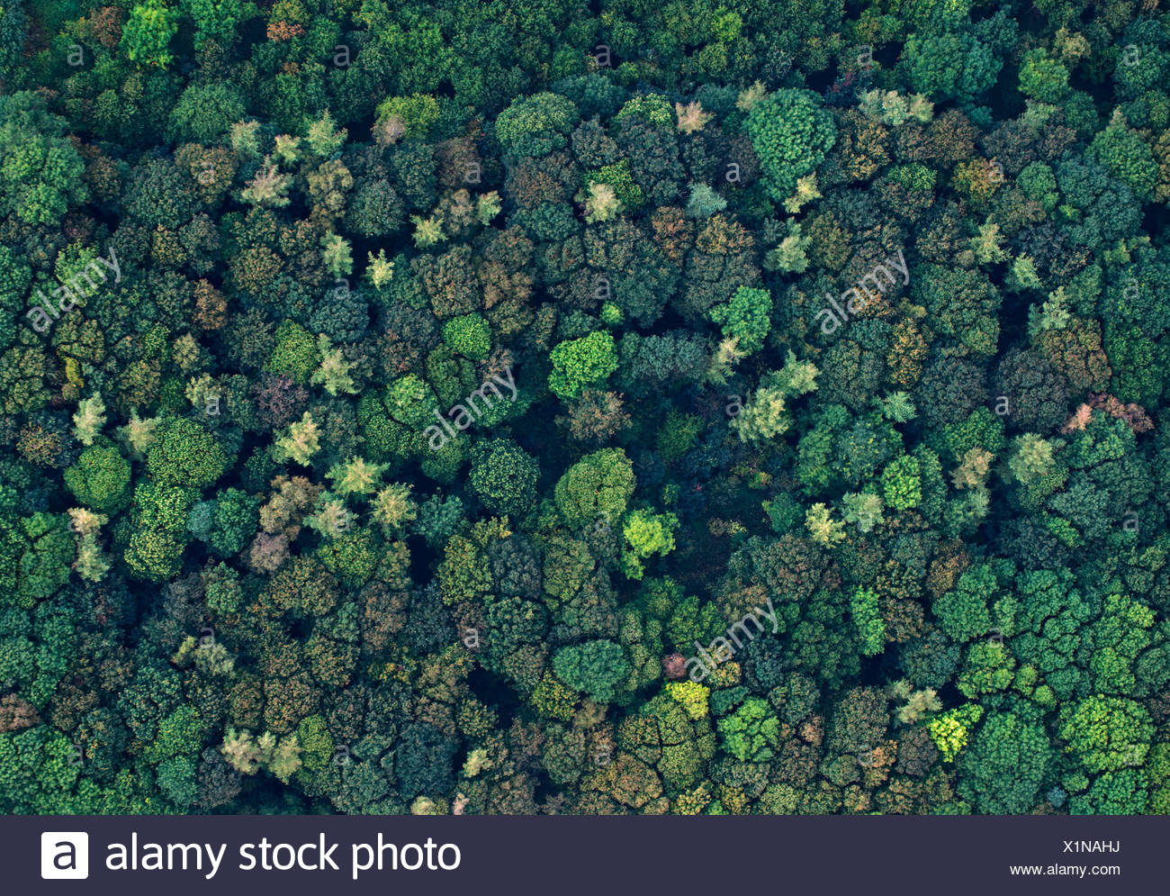 Aerial view of a mixed broadleaved wood in autumn Norfolk UK - Stock Image