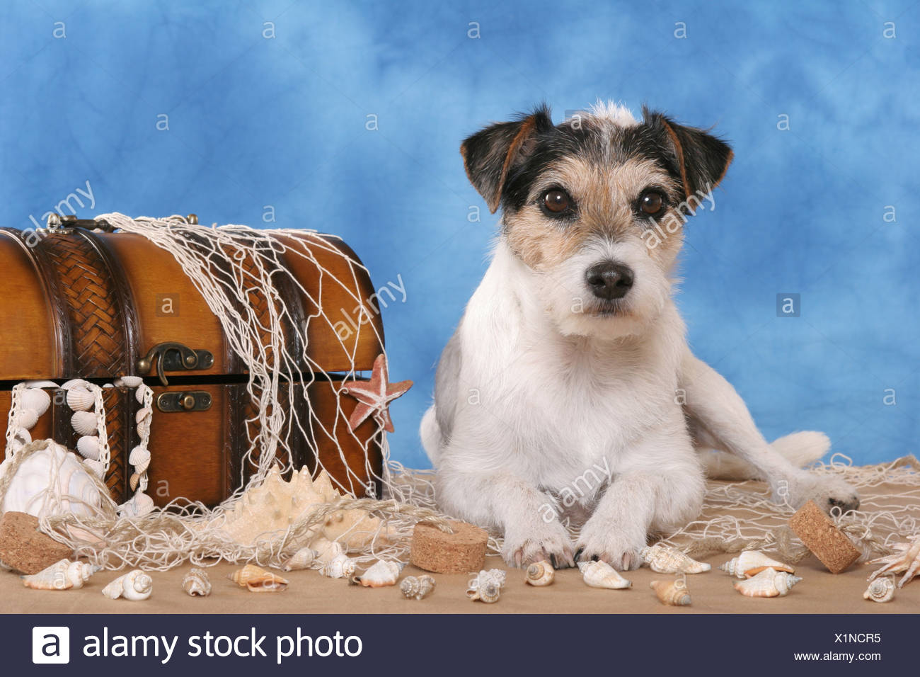 Parson Russell Terrier on beach Stock Photo: 276451593 - Alamy