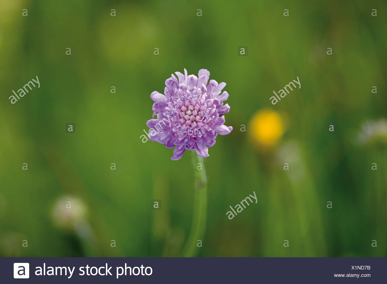 Germany, Bavaria, Pincushion Flower (Scabiosa columbaria), close-up - Stock Image