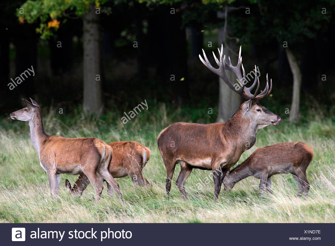 Red stag during the rut with hinds - red deer in heat - male and female - behaviour (Cervus elaphus) Stock Photo