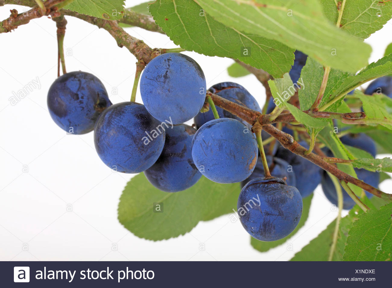 Brennzwetschge plums on a twig - Stock Image