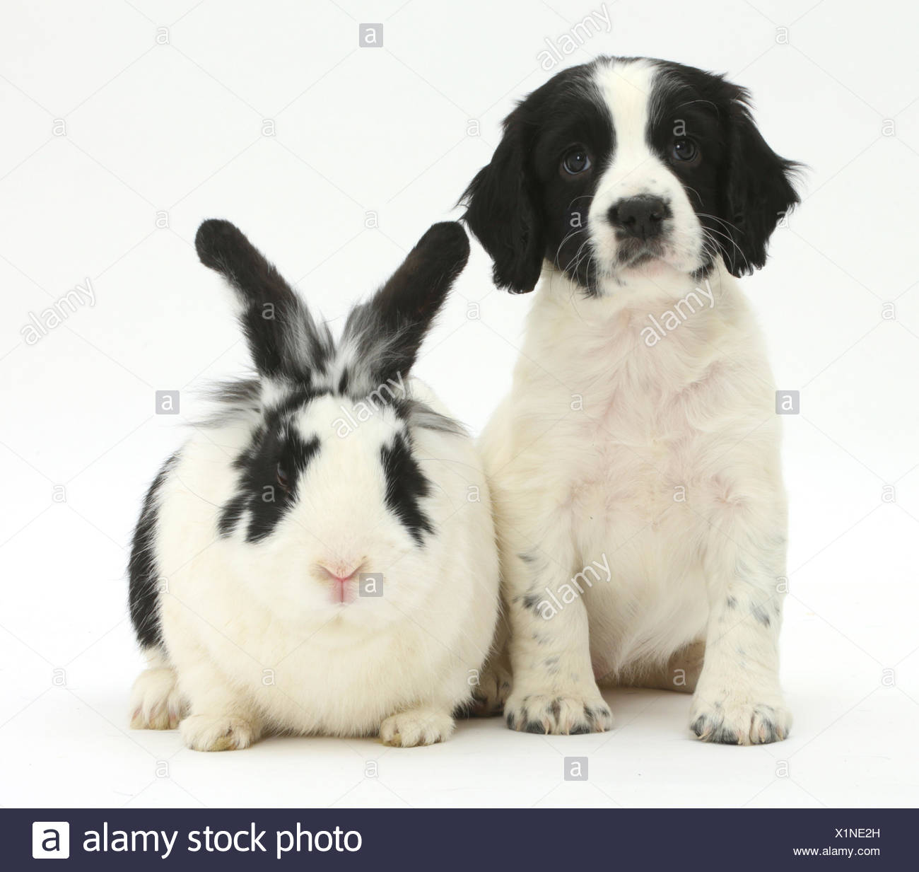 Black-and-white Springer spaniel puppy, age 6 weeks, and rabbit. - Stock Image