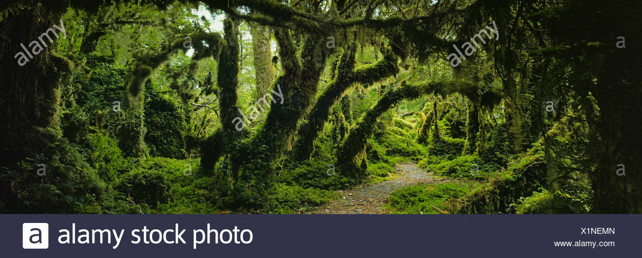 Panoramic view of moss covered trees in forest, Enchanted Forest, Queulat National Park, Patagonia - Stock Image