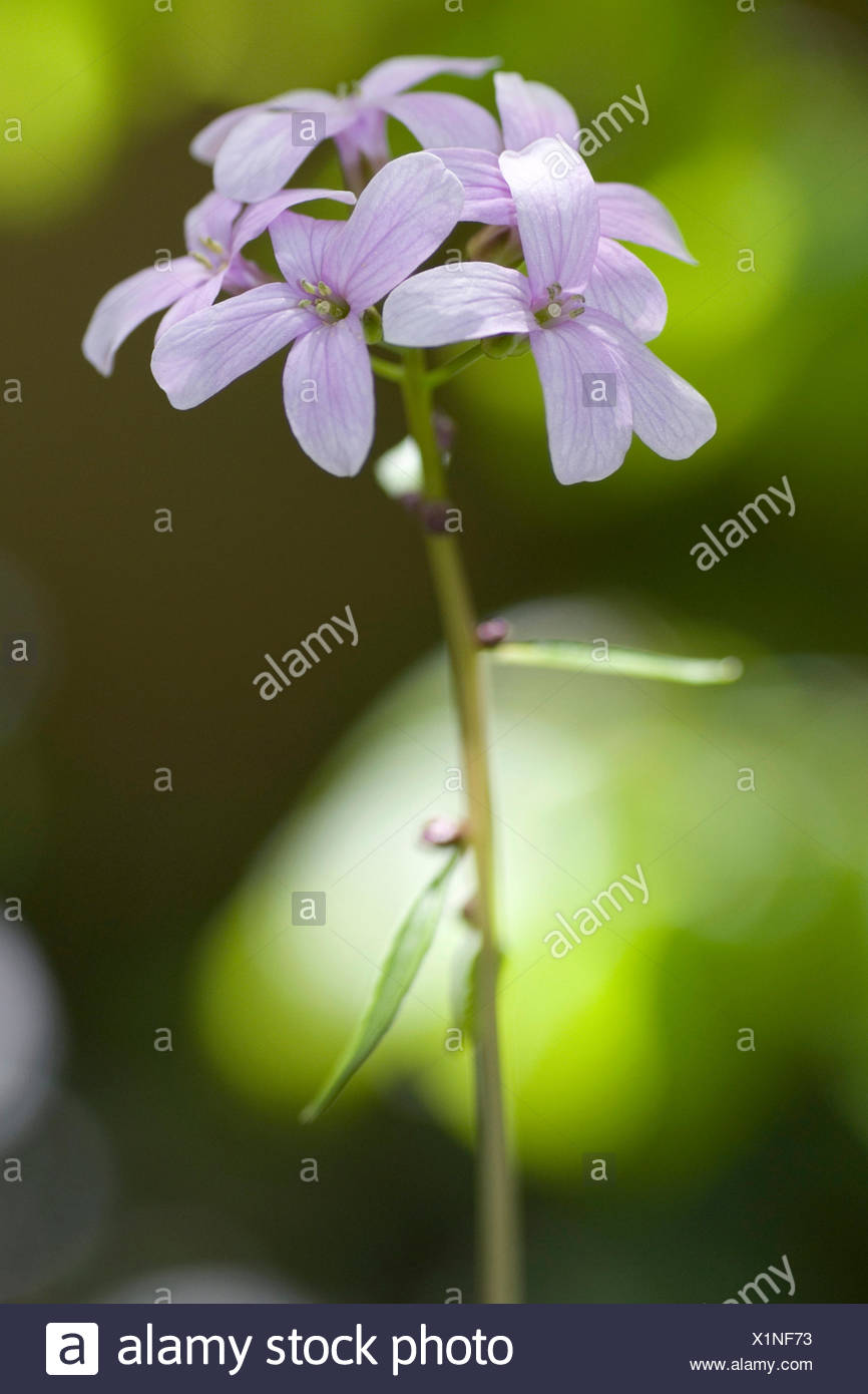 Coralroot, Bulb-bearing toothwort (Cardamine bulbifera, Dentaria bulbifera), inflorescence, Germany - Stock Image