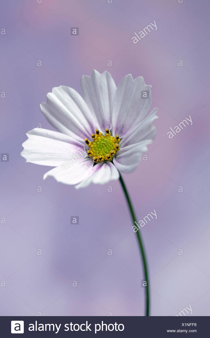 Cosmos bipinnatus 'Daydream', Front view of one fully open flower with white petals tinged with pink at the centre and yellow stamens, Against soft blue and pink background. - Stock Image