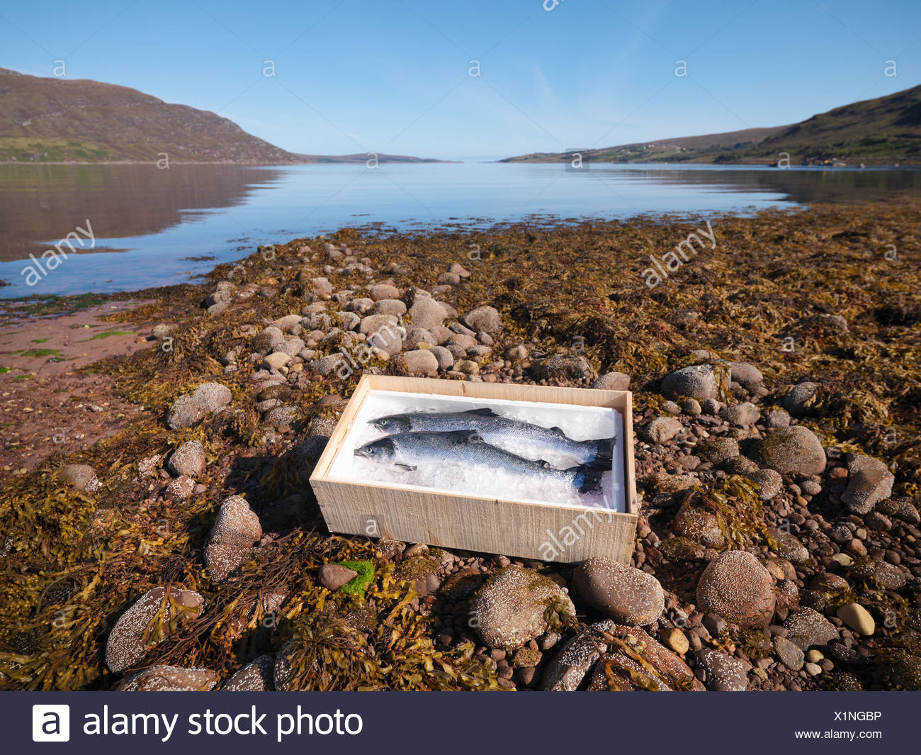 Fish on bed of ice in box by lake - Stock Image