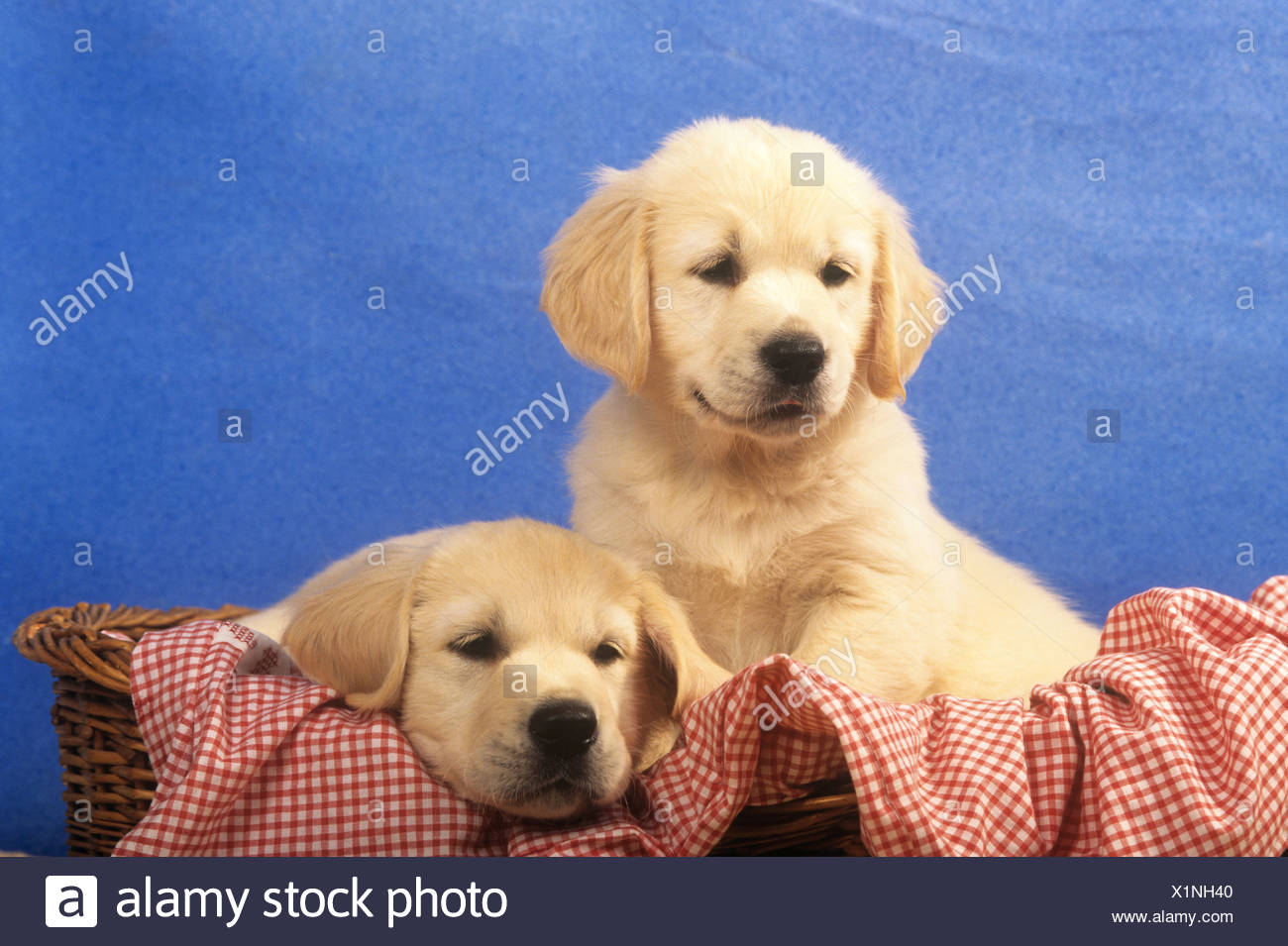 two Golden Retriever puppies in basket Stock Photo