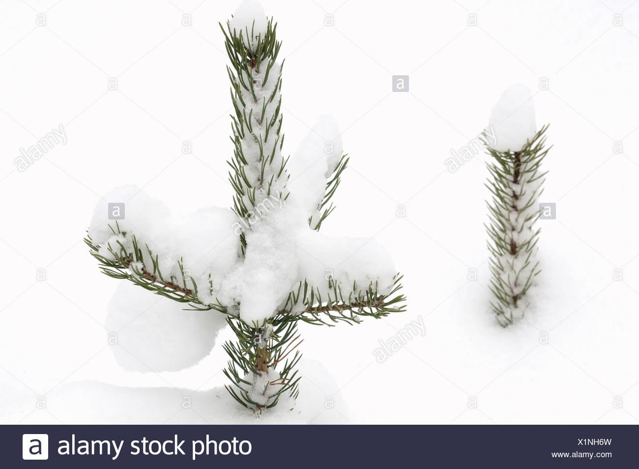 Spruce in snow Sweden Stock Photo