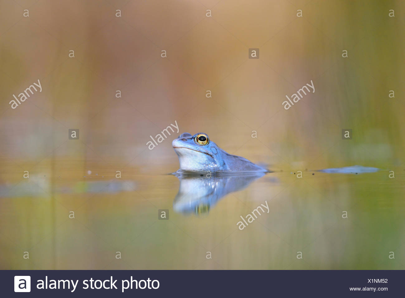 Moor frog (Rana arvalis), male, blue coloured during mating season in spawning waters, Thuringia, Germany - Stock Image