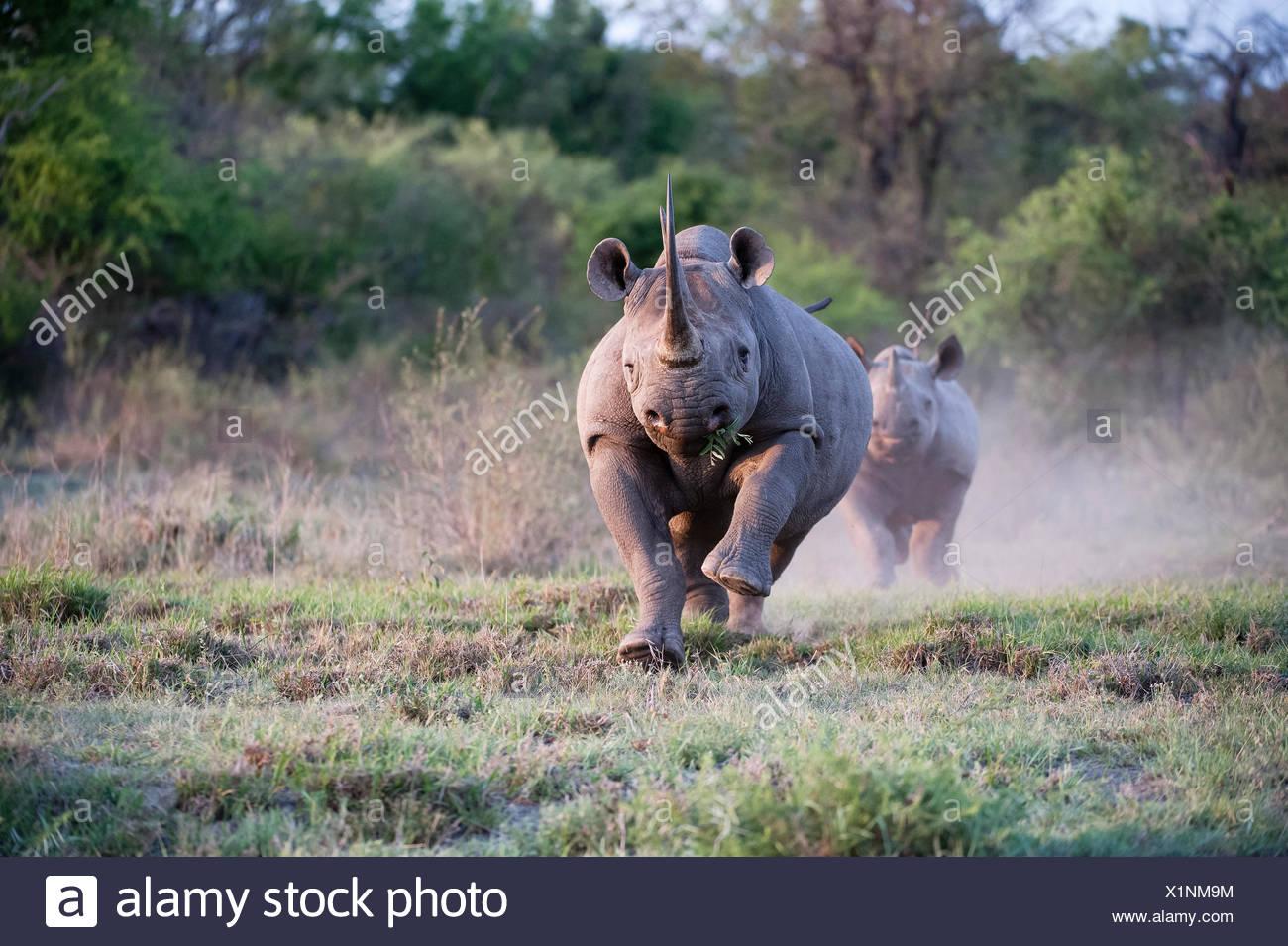 An adult female Black Rhinoceros (Diceros bicornis) charging with calf behind, Madikwe Game Reserve, South Africa - Stock Image