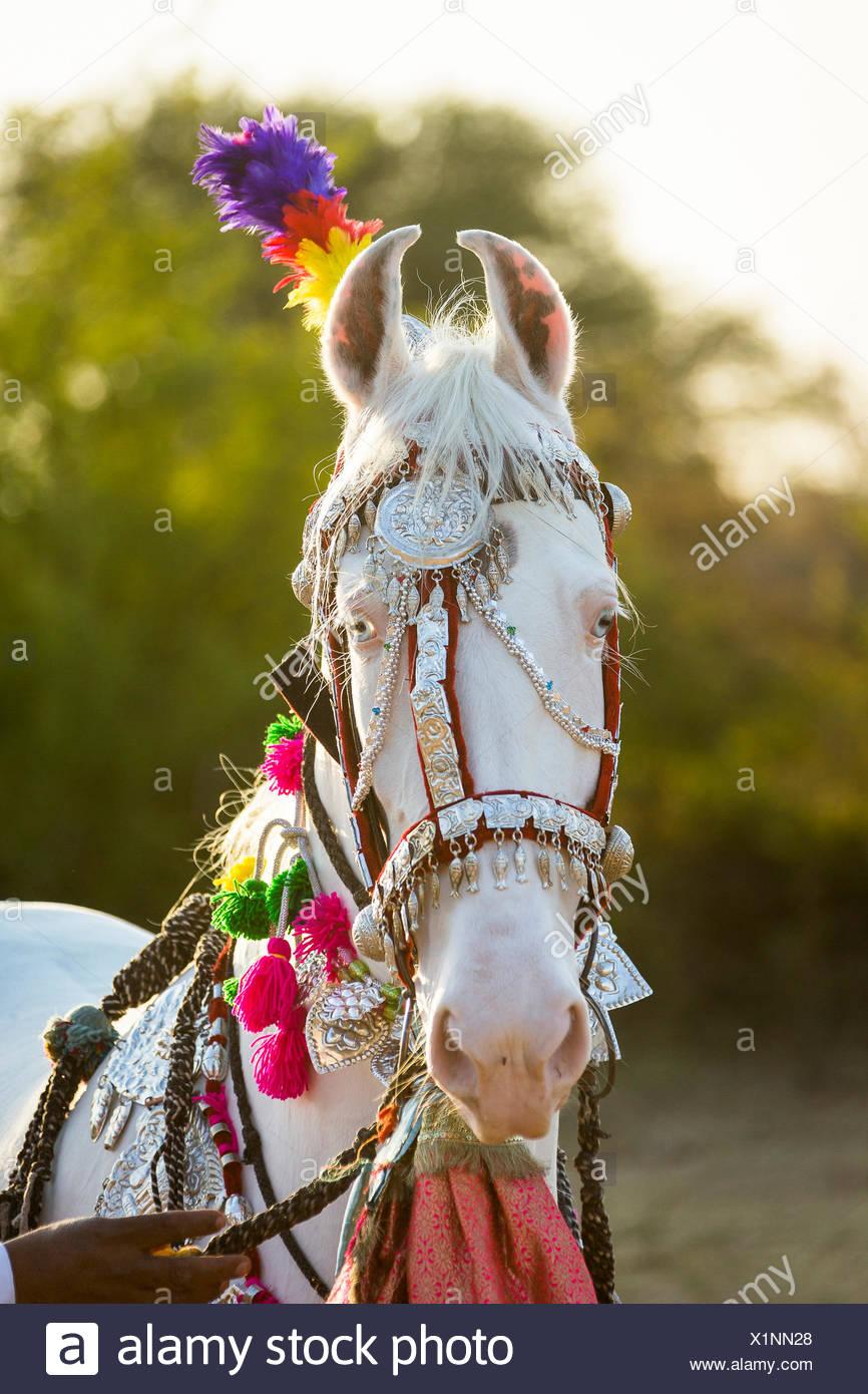 Marwari Horse. Portrait of dominant white mare decorated with colourful headgear. Rajasthan, India - Stock Image