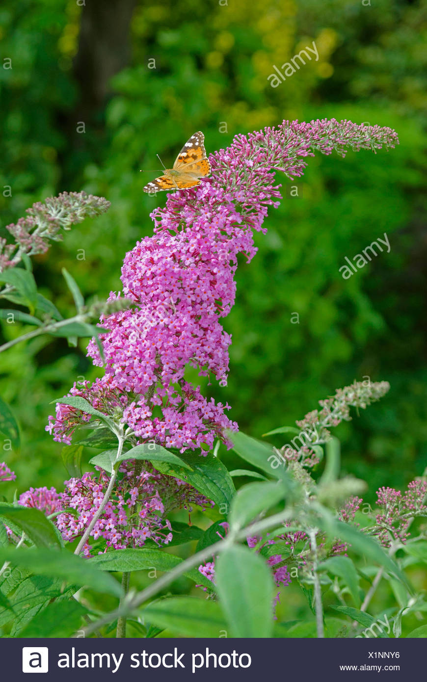 orange eye butterfly bush, violet butterfly bush (Buddleja davidii 'Pink Delight', Buddleja davidii Pink Delight), cultivar Pink Delight, with Painted Lady, Germany - Stock Image