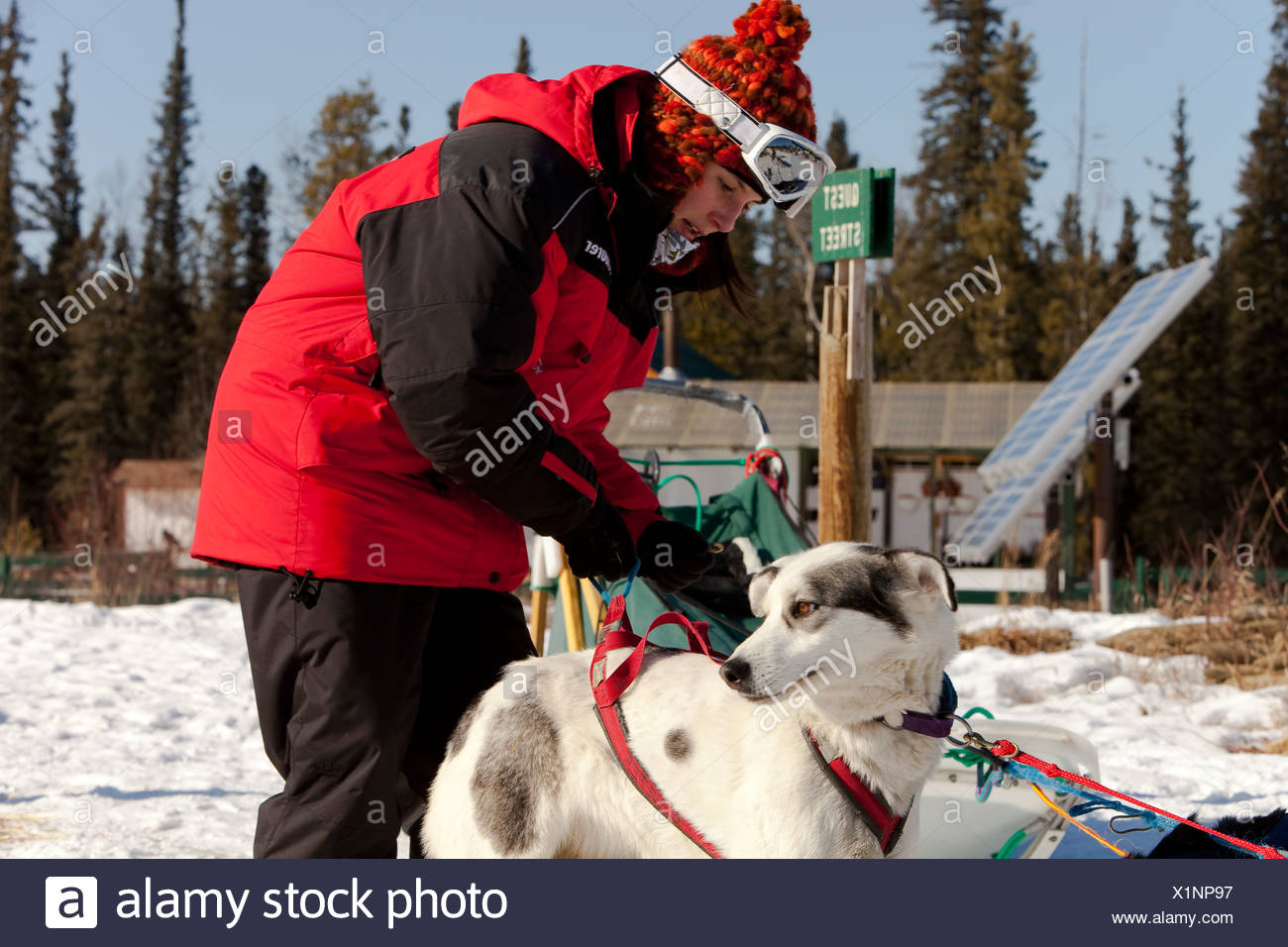 Young woman putting a harness on a sled dog, Alaskan Husky, harnessing, Yukon Territory, Canada - Stock Image