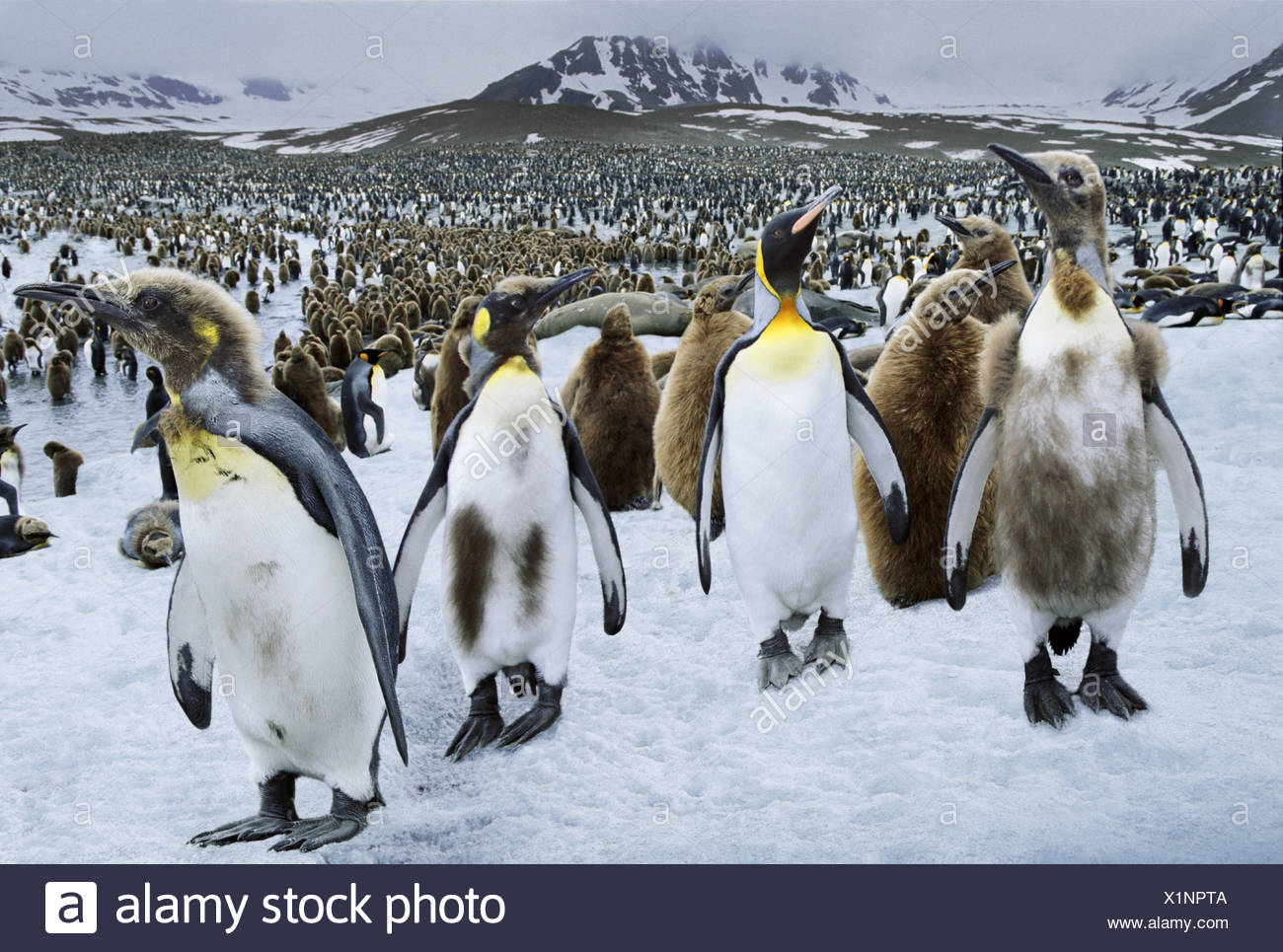 King Penguins St Andrews Bay South Georgia - Stock Image
