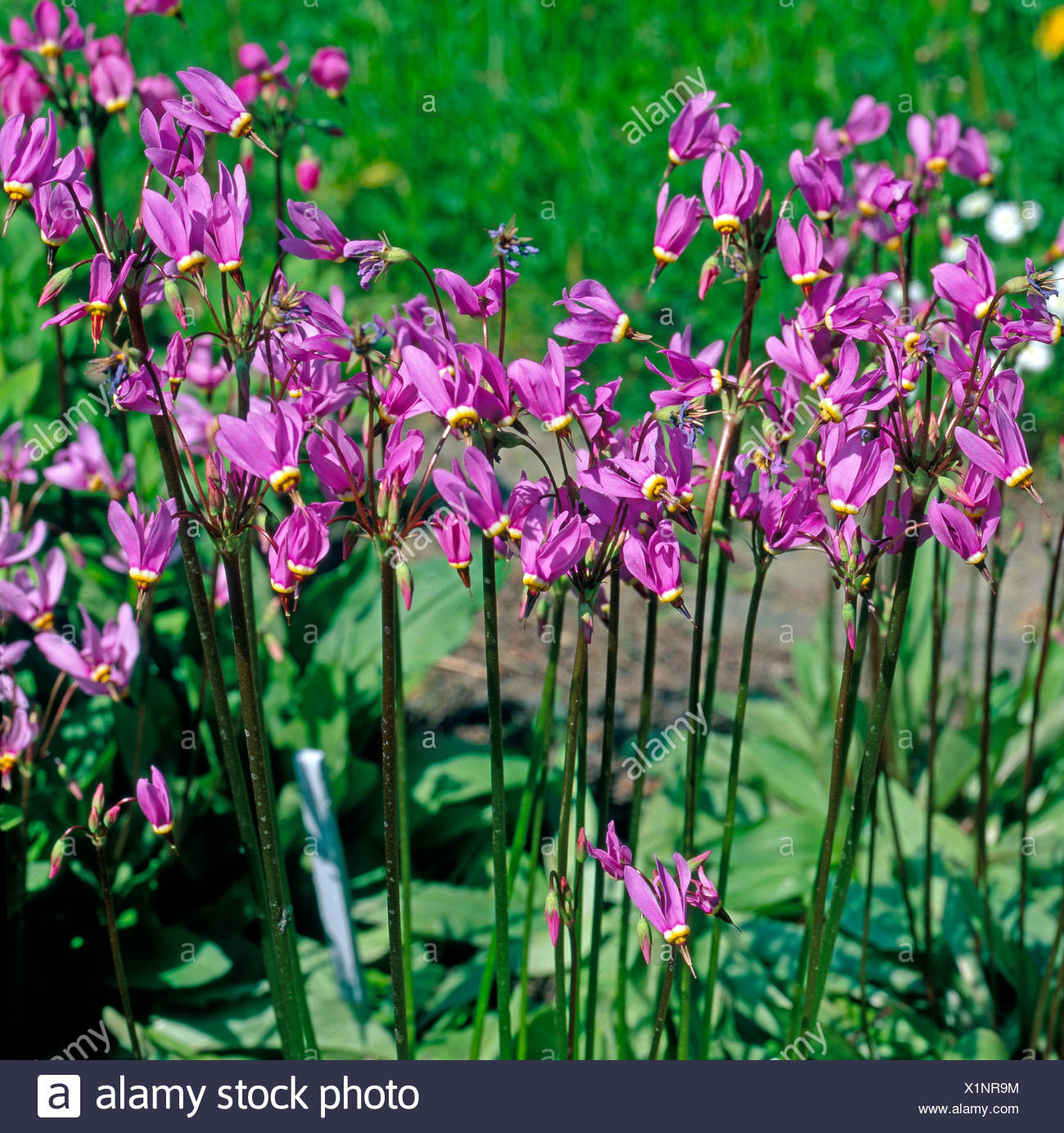 God's flowers from Nordwestamerika at garden patch - Stock Image