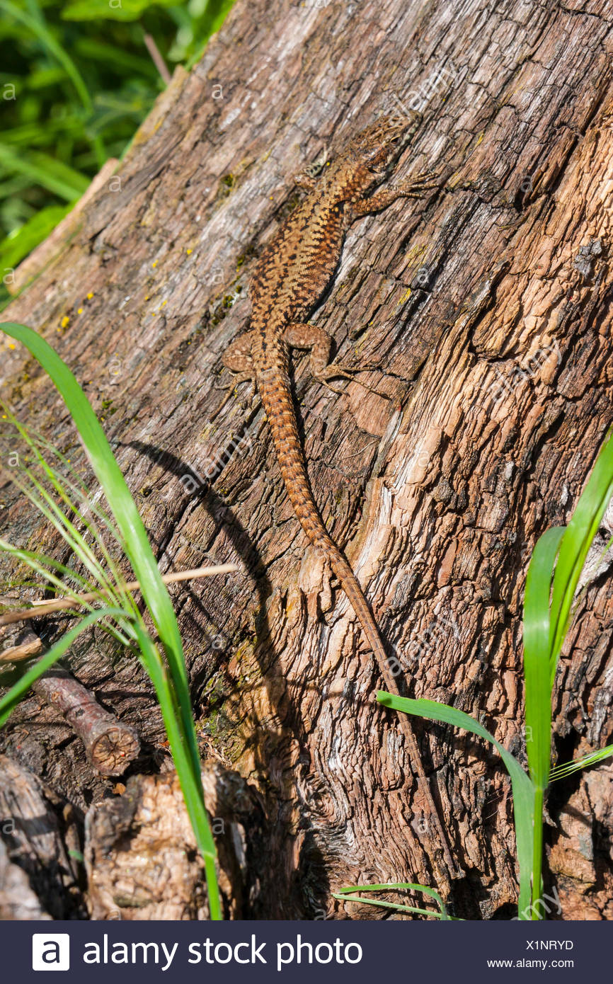 common wall lizard (Lacerta muralis, Podarcis muralis), sunbathing at an old tree in the early morning, Switzerland, Grisons - Stock Image