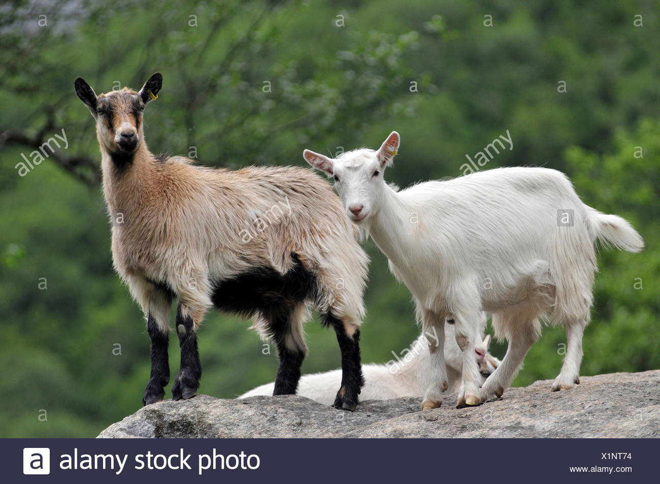 Domestic Goats, Briks Valley, Briksdalen, Norway - Stock Image