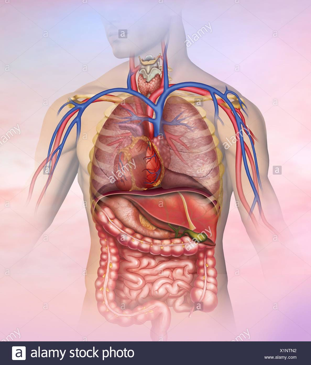 Anatomical and descriptive illustration of the thorax and abdomen of the human body. - Stock Image