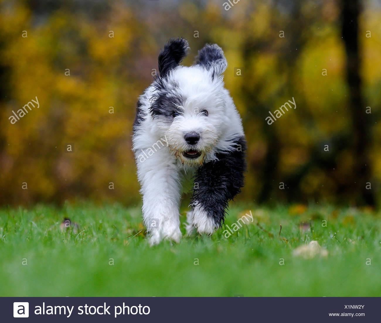 Puppy, 12 weeks, Old English Sheepdog Stock Photo: 276461219
