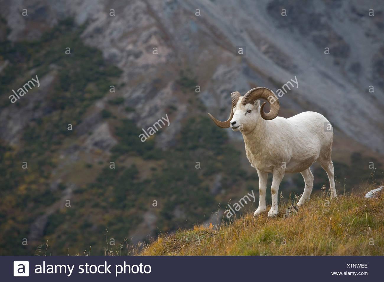 Dall Sheep standing on a ridge with mountain background, Mount Margaret, Denali National Park, Alaska Stock Photo