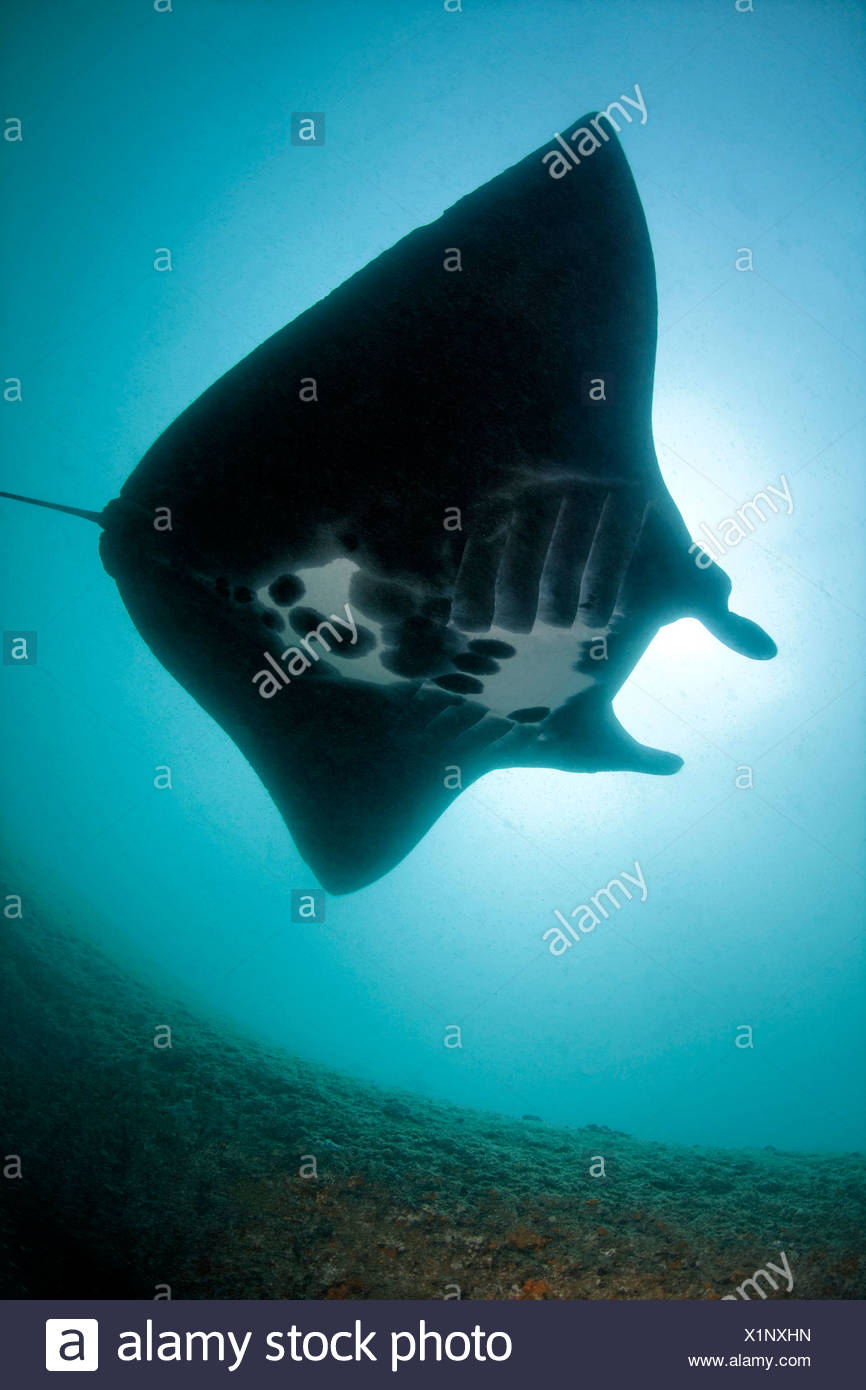 Reef Manta Ray (Manta alfredi), Khuriya Muriya Islands, Oman, Indian Ocean, underwater shot Stock Photo