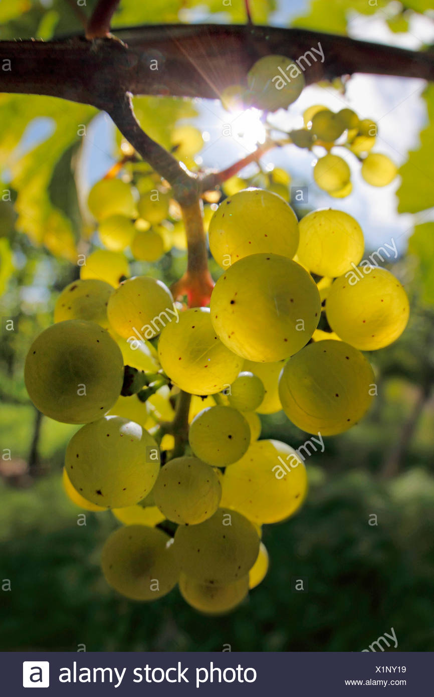 grape-vine, vine (Vitis vinifera), sun shines through fruits on vine stock, Germany, Baden-Wuerttemberg, Ortenau - Stock Image