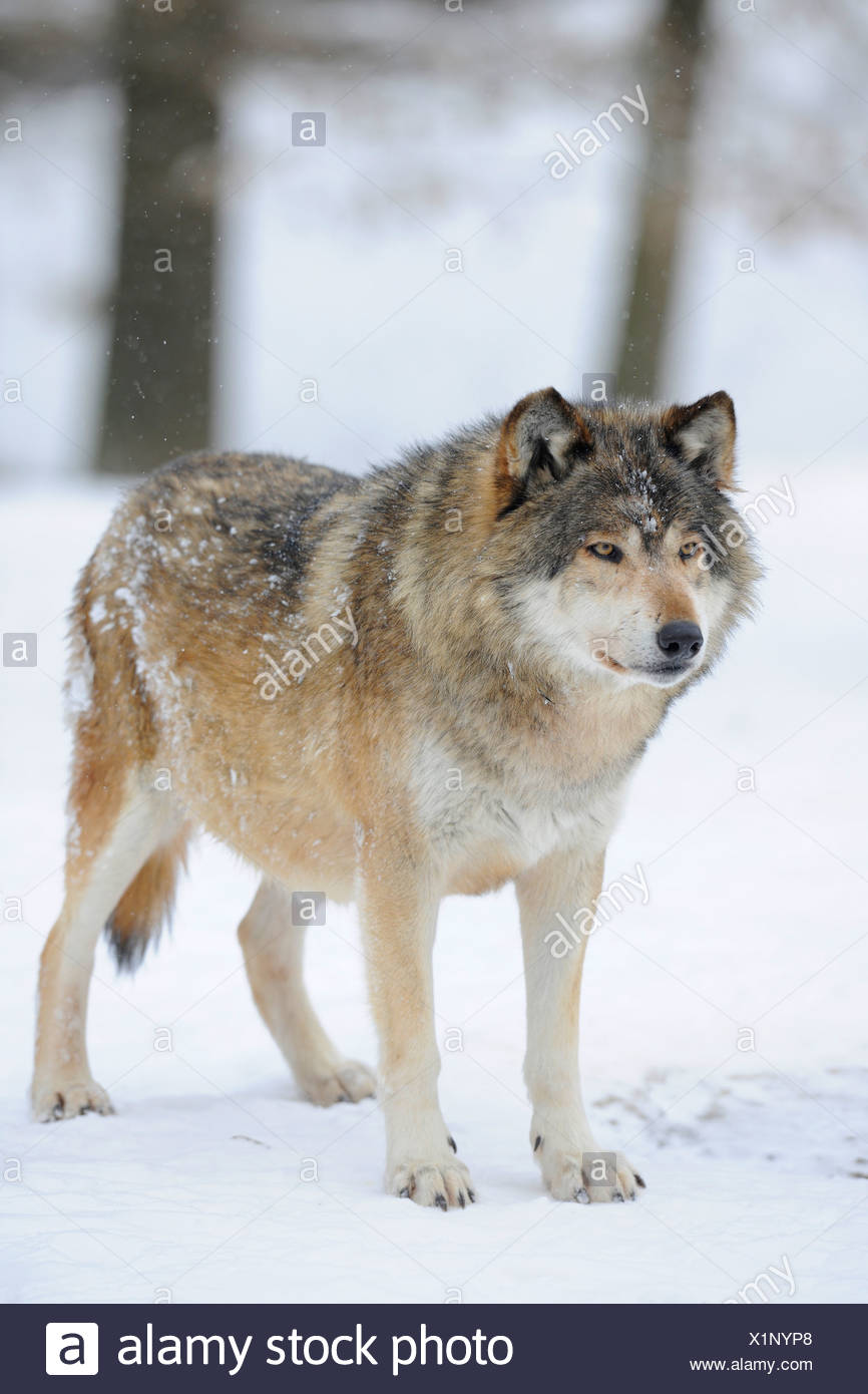 mackenzie valley wolf alaskan tundra wolf or canadian timber wolf