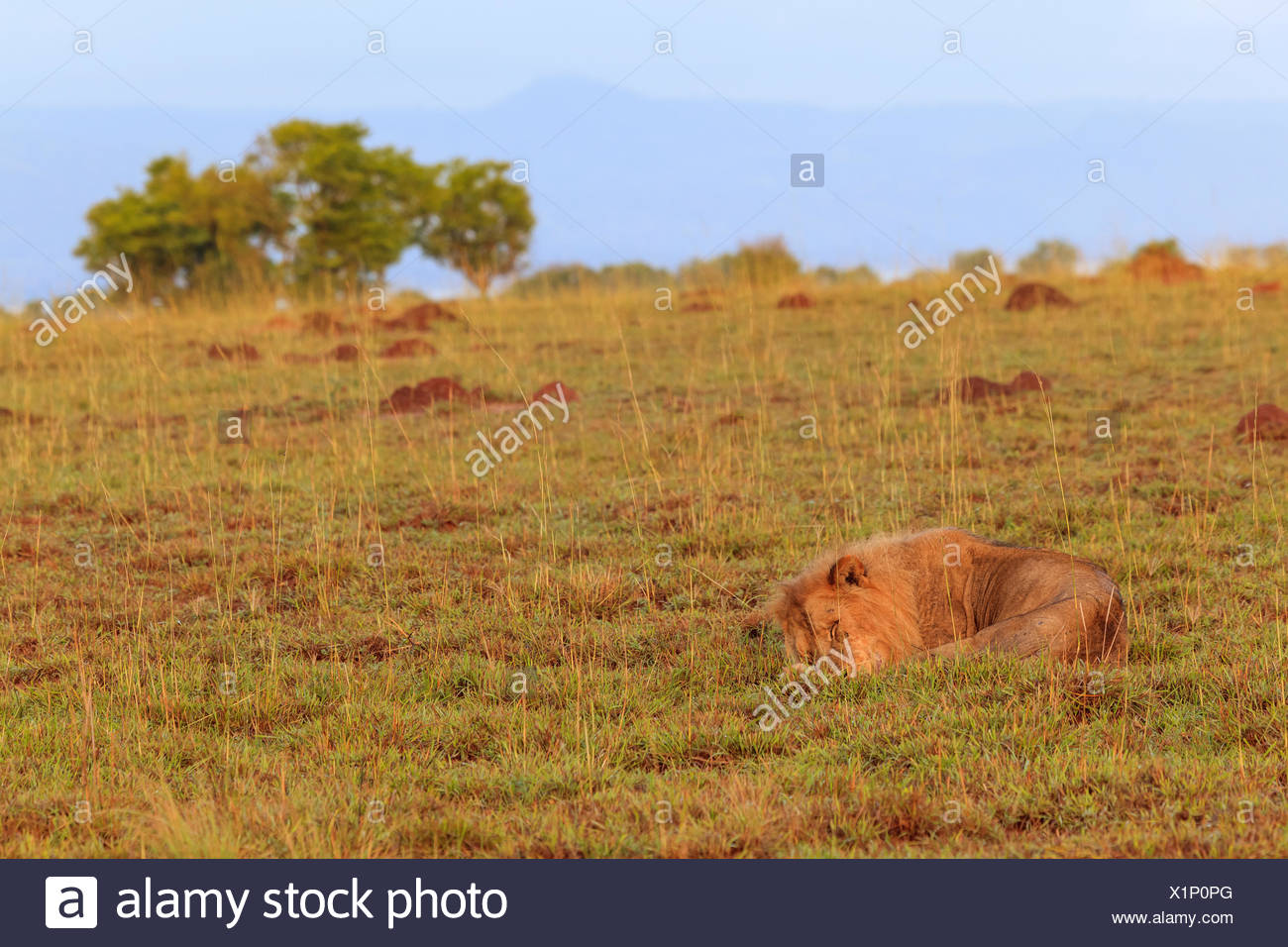 An African lion, Panthera leo, sleeping in Murchison Falls National Park. - Stock Image