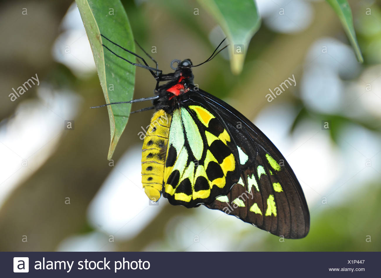 beautiful yellow green and black butterfly, the malachite (siproete stelenes) a member of the brush footed butterfly family, nam - Stock Image