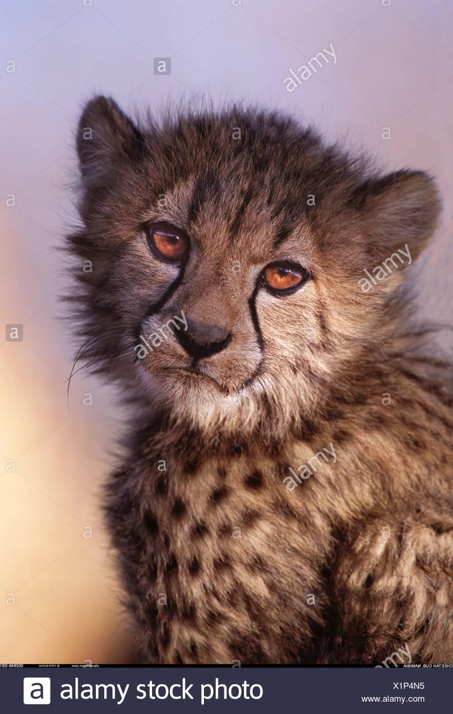 Cheetah cub Namibia Stock Photo