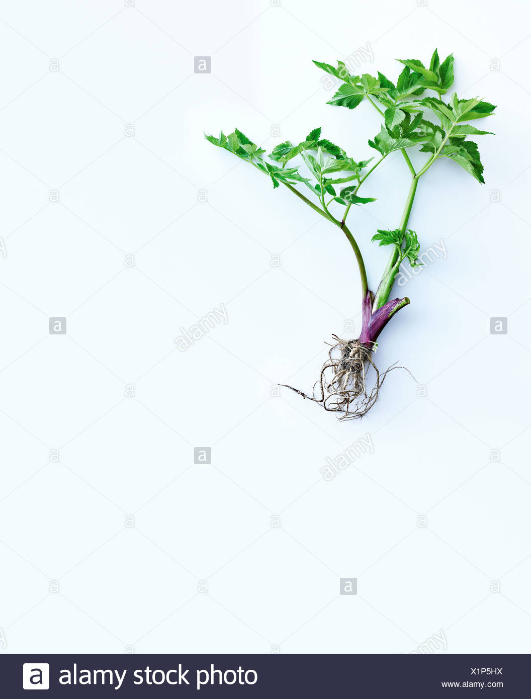 Herb stems, leaves and roots - Stock Image