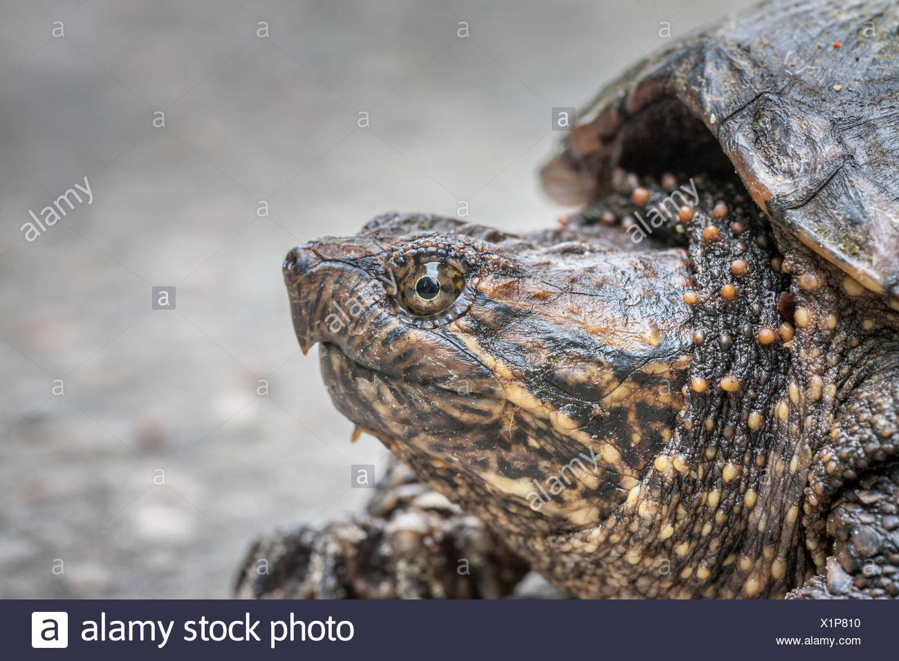 Juvenile, Snapping Turtle (Chelydra serpentina), Bon Echo Provincial Park, Ontario Stock Photo