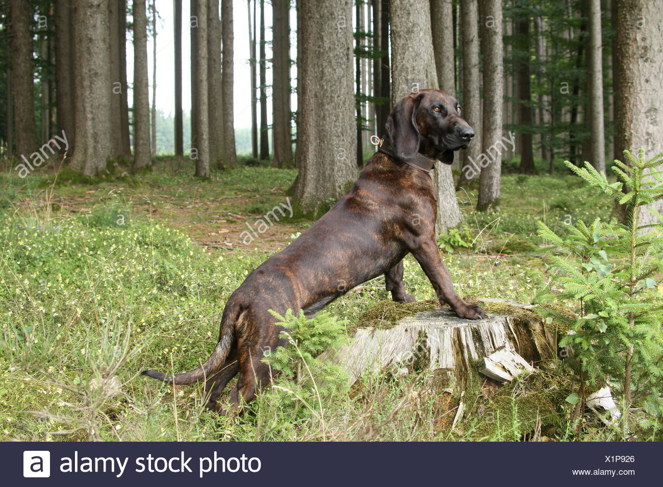 Hanoverian Hound Stock Photos & Hanoverian Hound Stock Images - Alamy