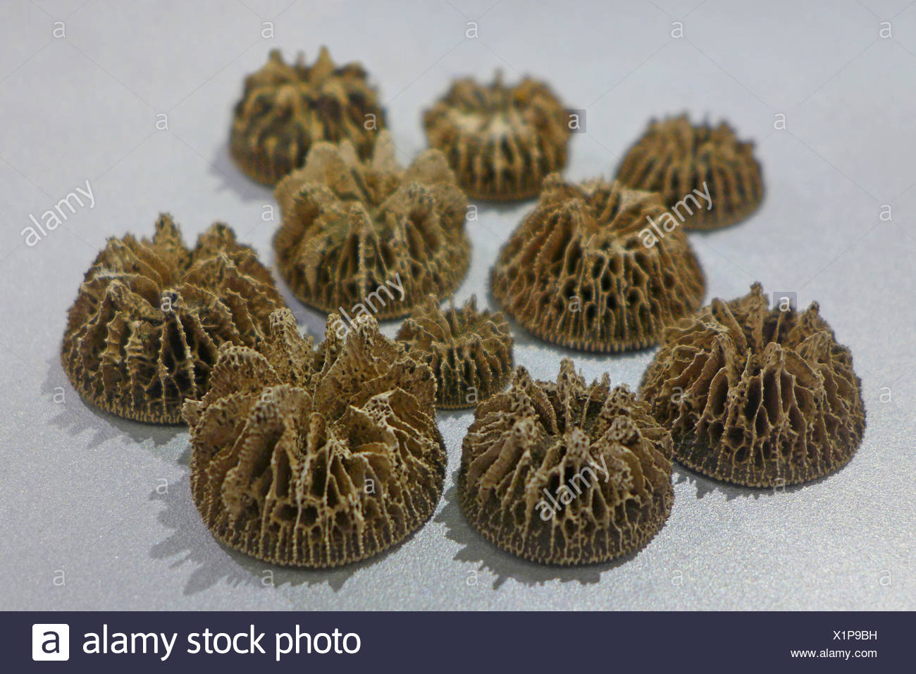 coral (Stephanophyllia nysti), fossile coral from miocene (20 million years), locality: Netherlands - Stock Image