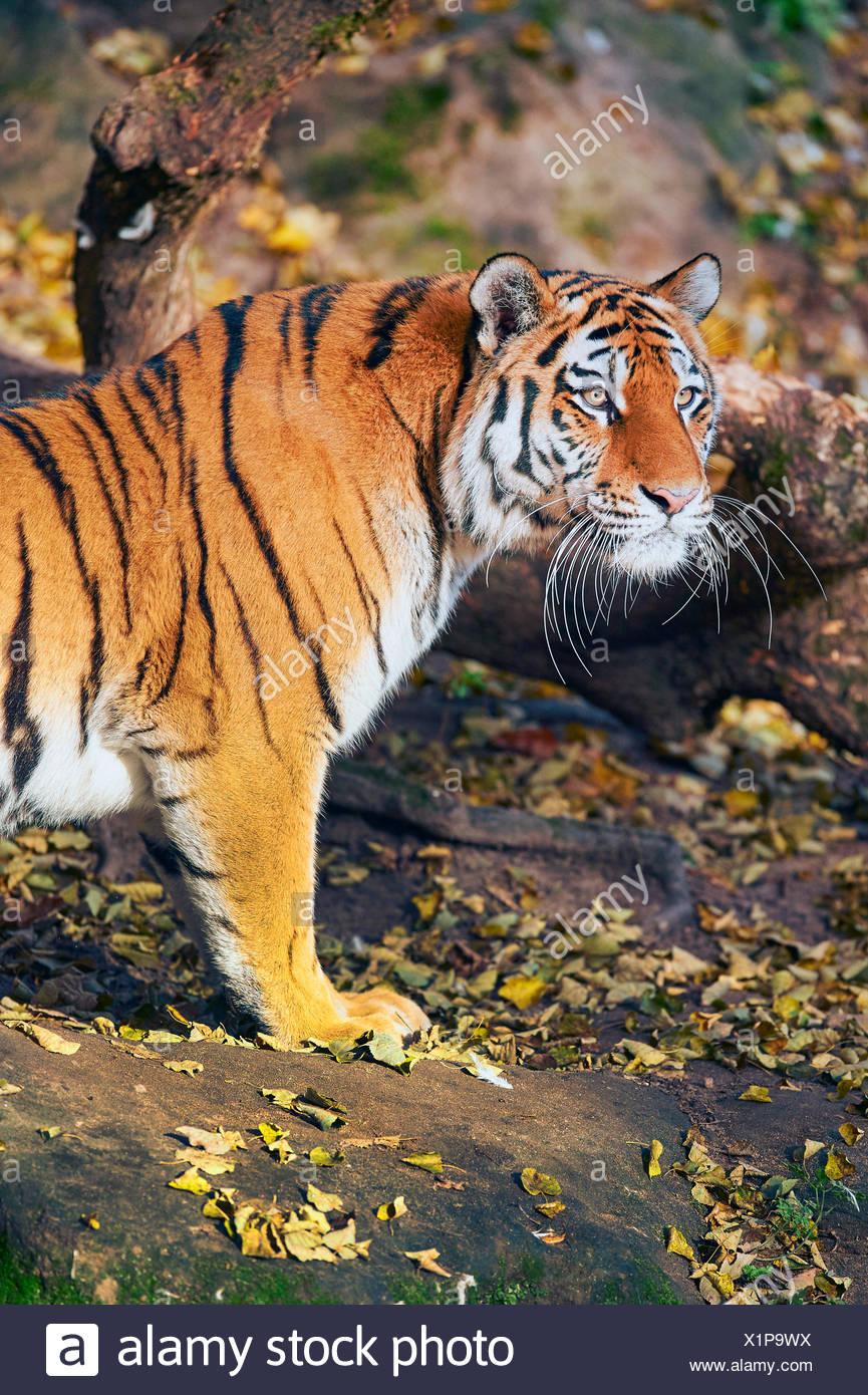 Siberian tiger, Amurian tiger (Panthera tigris altaica), tigress, half-length portrait in autumn - Stock Image