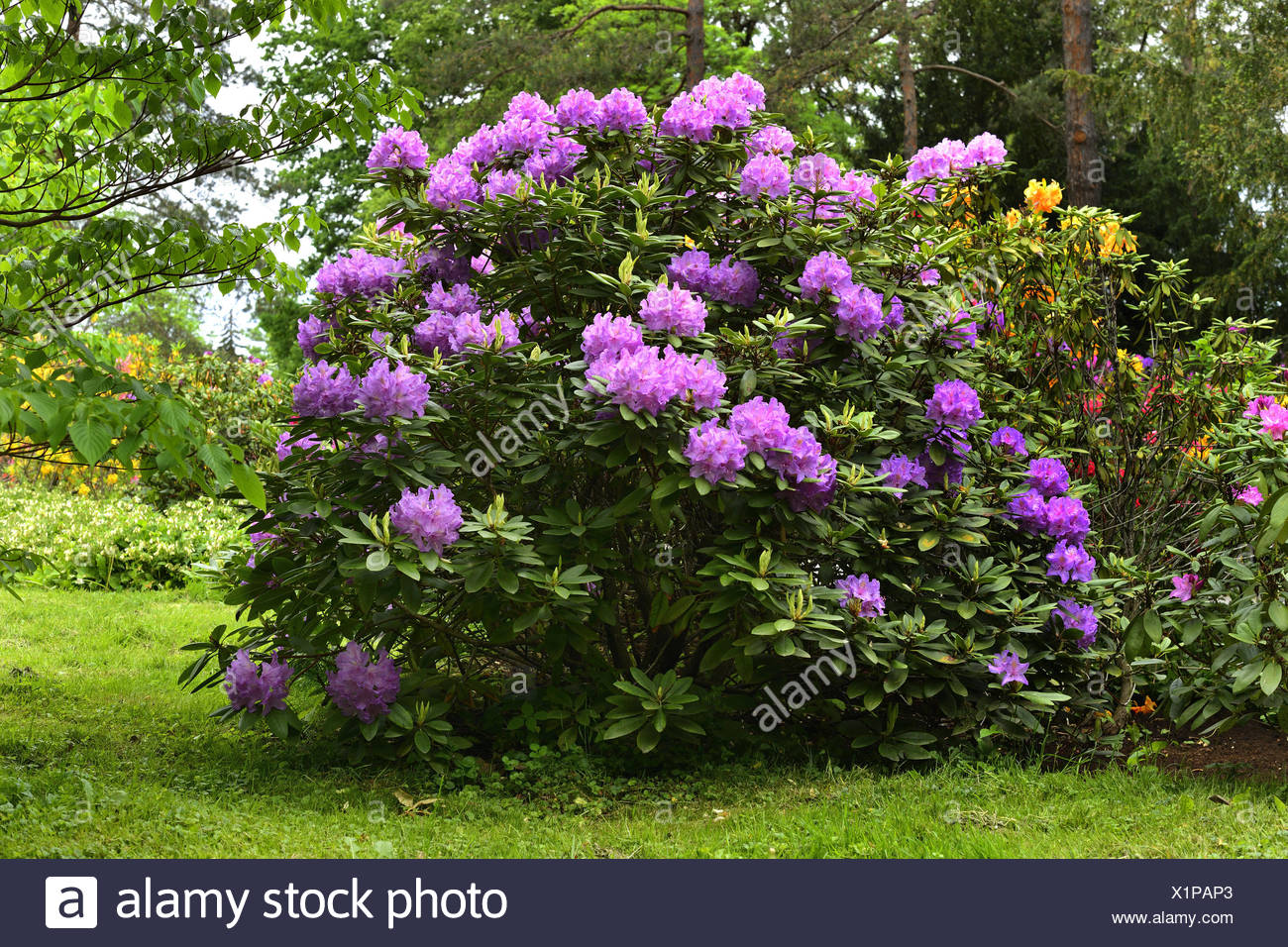 Catawba rhododendron, Catawba rose bay (Rhododendron catawbiense), blooming in a park, Austria, Styria Stock Photo
