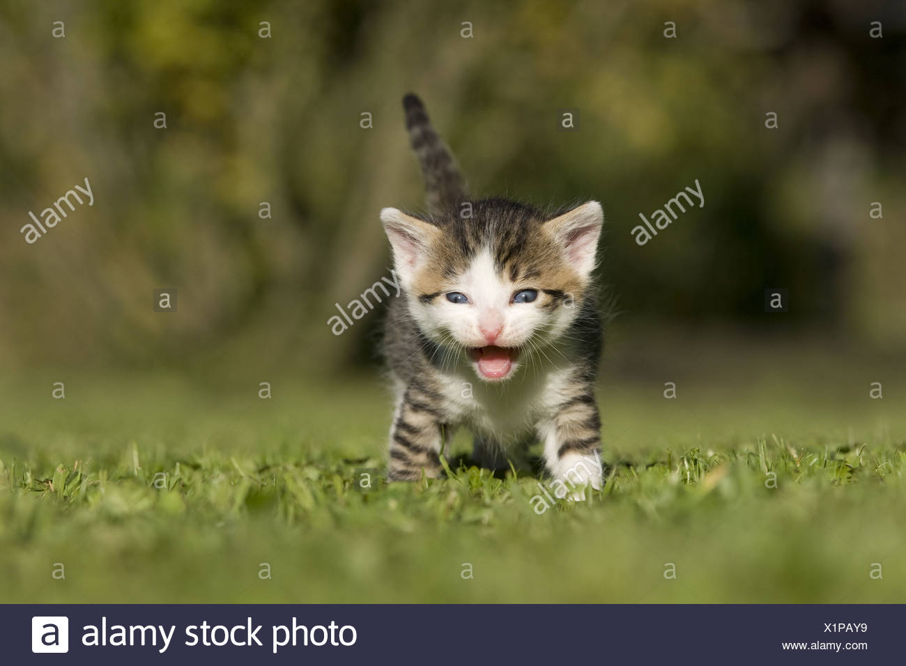 Katze, Kaetzchen miauend, lachend auf Wiese, Cat, kitten laughing, miaowing on a meadow Stock Photo