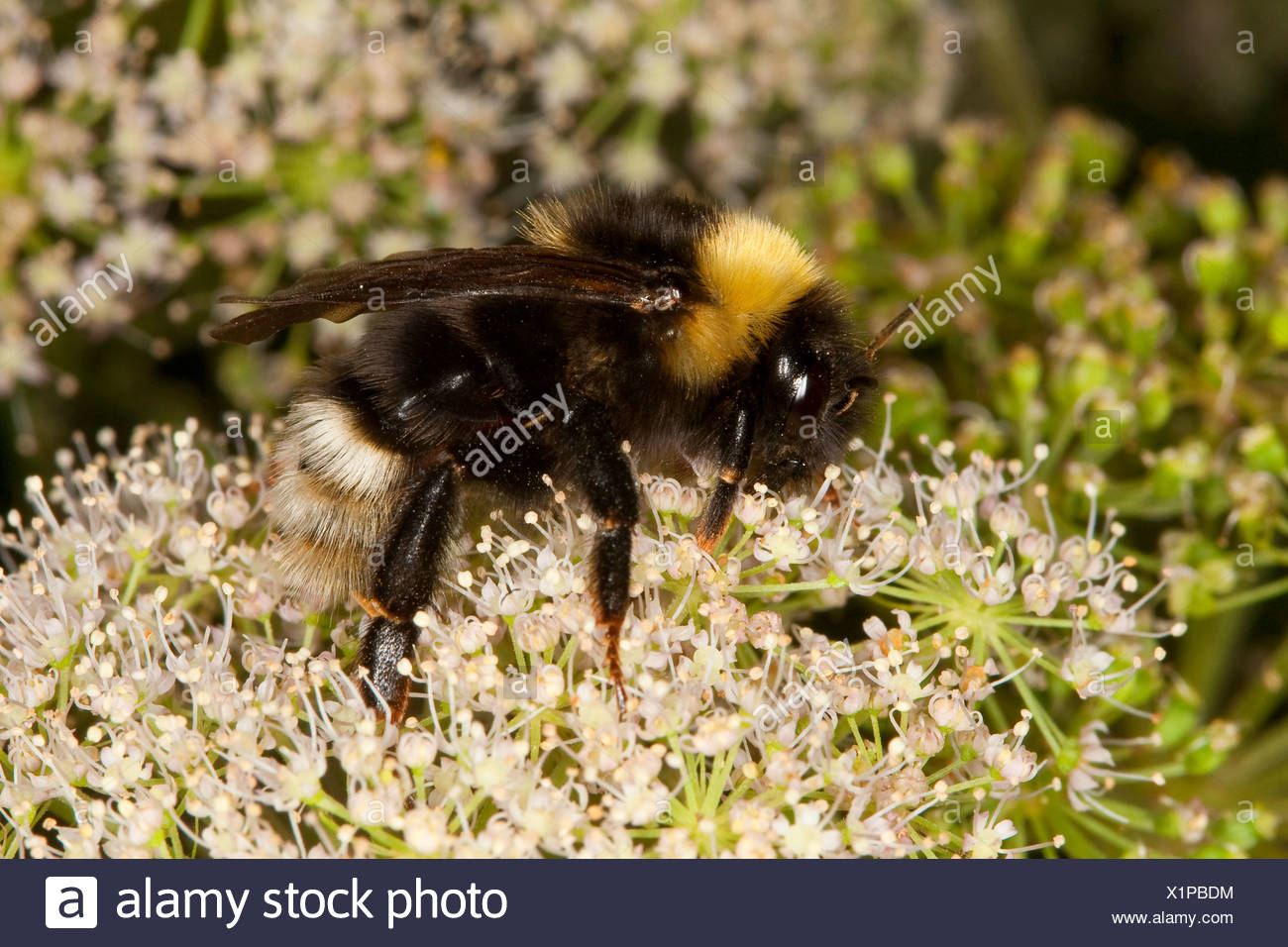 Cuckoo bumblebee  (Psithyrus sylvestris, Fernaldaepsithyrus sylvestris, Bombus sylvestris), brood parasite of early bumble bee, searching for nectar at an umbellifer, Germany - Stock Image