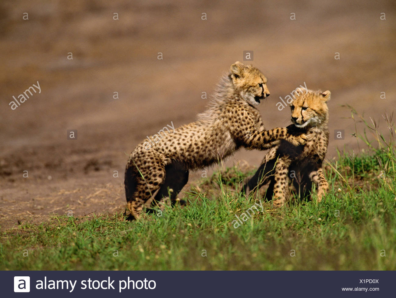 Cheetah cubs, Masai Mara National Reserve, Kenya - Stock Image