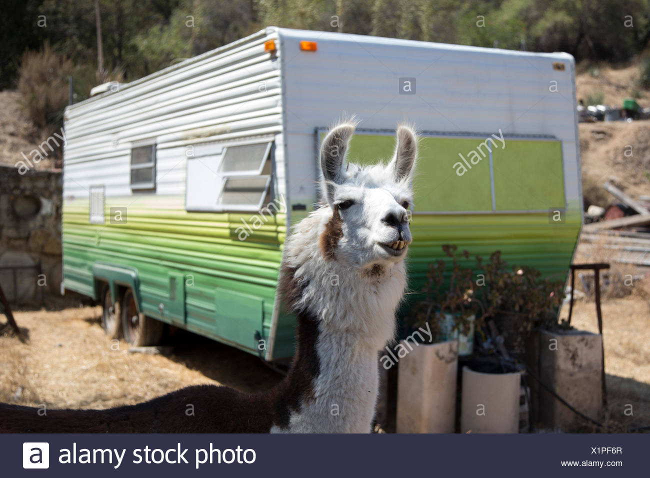 A llama in front of a trailer in Altadena, Calif. - Stock Image