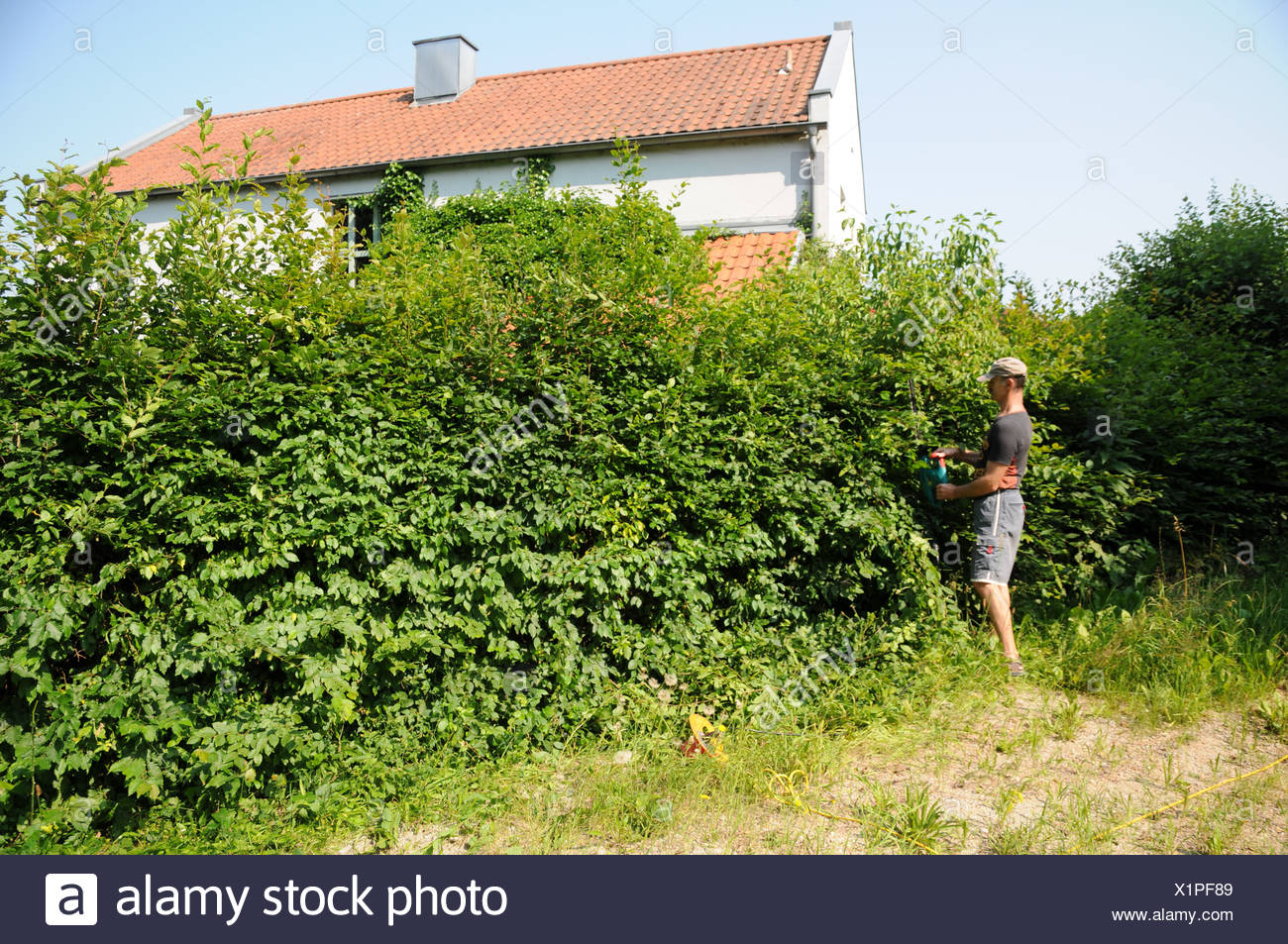 Shaping Hornbeam--Hedge - Stock Image