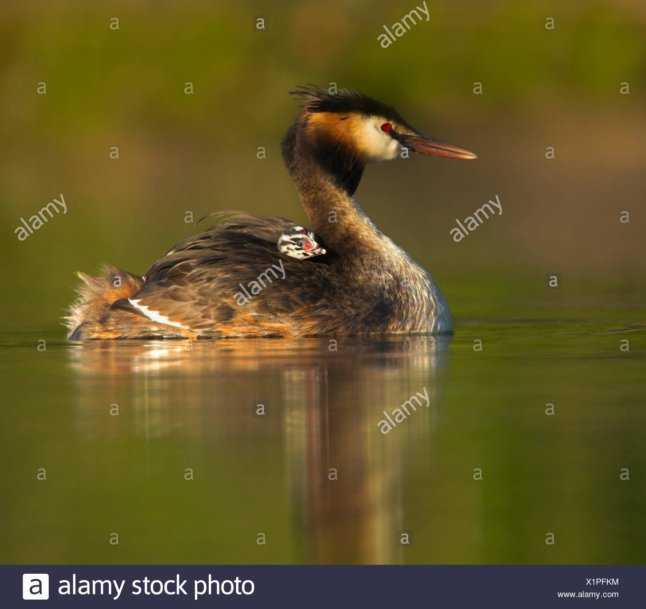 Great crested grebe (Podiceps cristatus) chick on mother's back, UK. - Stock Image