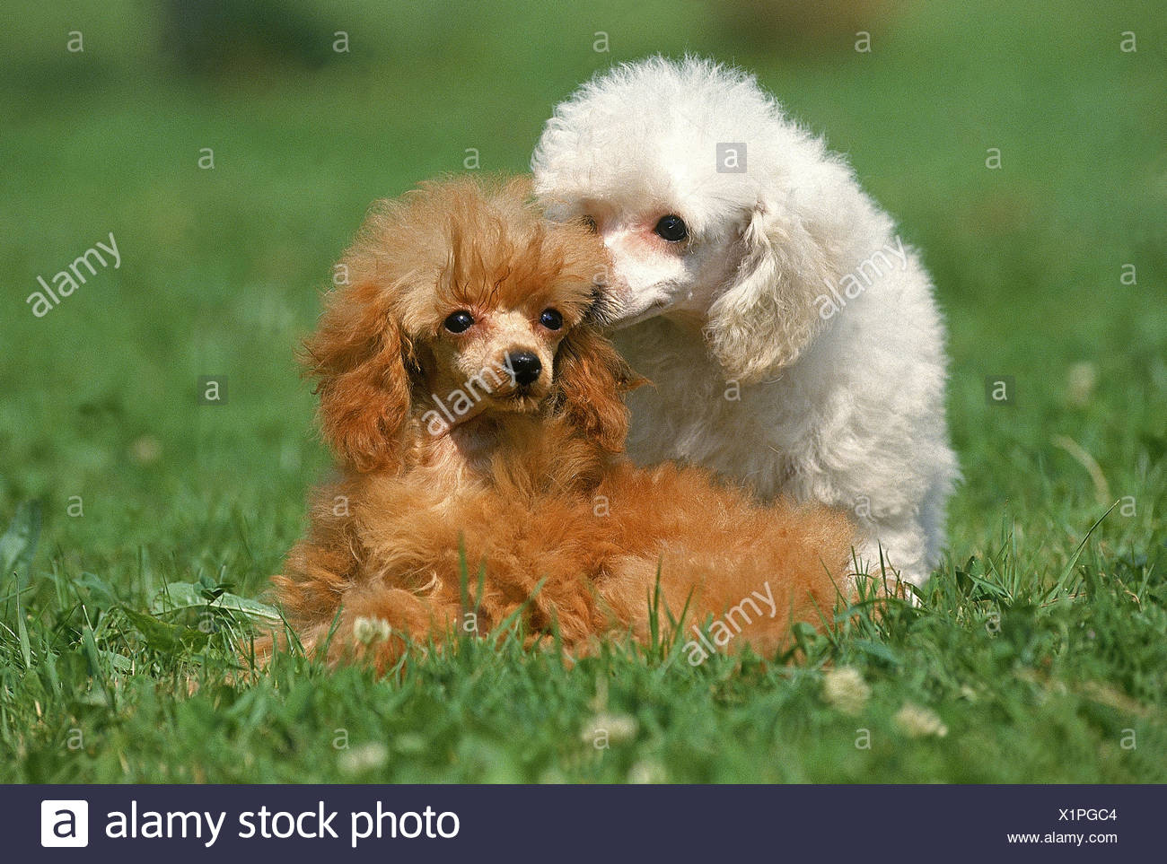 WHITE AND ABRICOT TOY POODLES - Stock Image