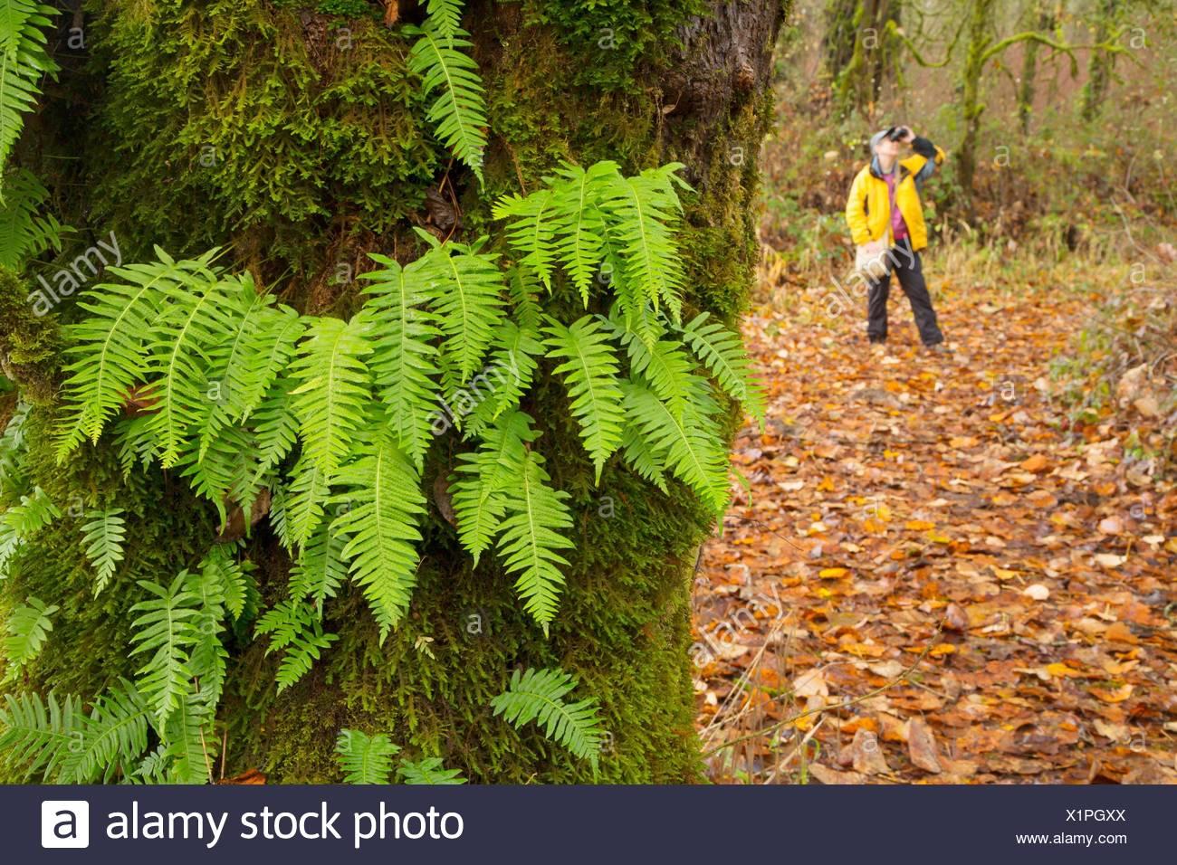 Birder by licorice ferns (Polypodium glycyrrhiza) along Warrior Rock Trail, Sauvie Island Wildlife Area, Oregon. Stock Photo